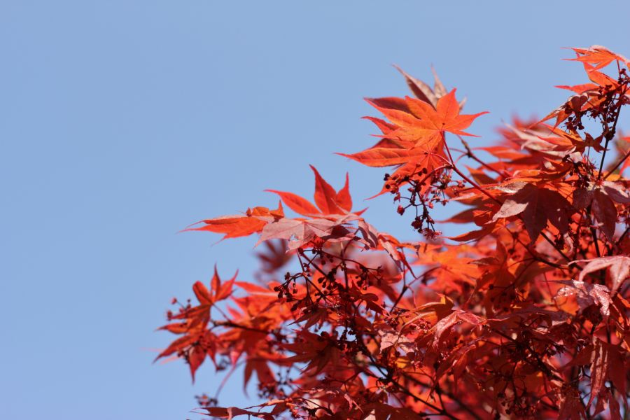 Japanese Maple @ Atelier Espenaer